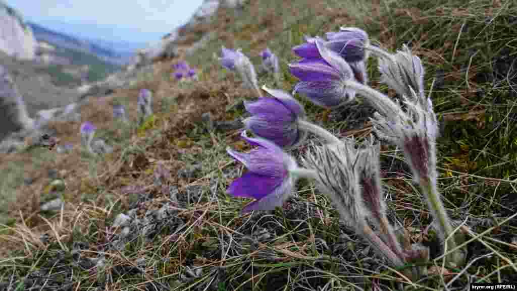 Пухнаста сон-трава на Мердвен-Кая гнеться під поривами холодного північного вітру
