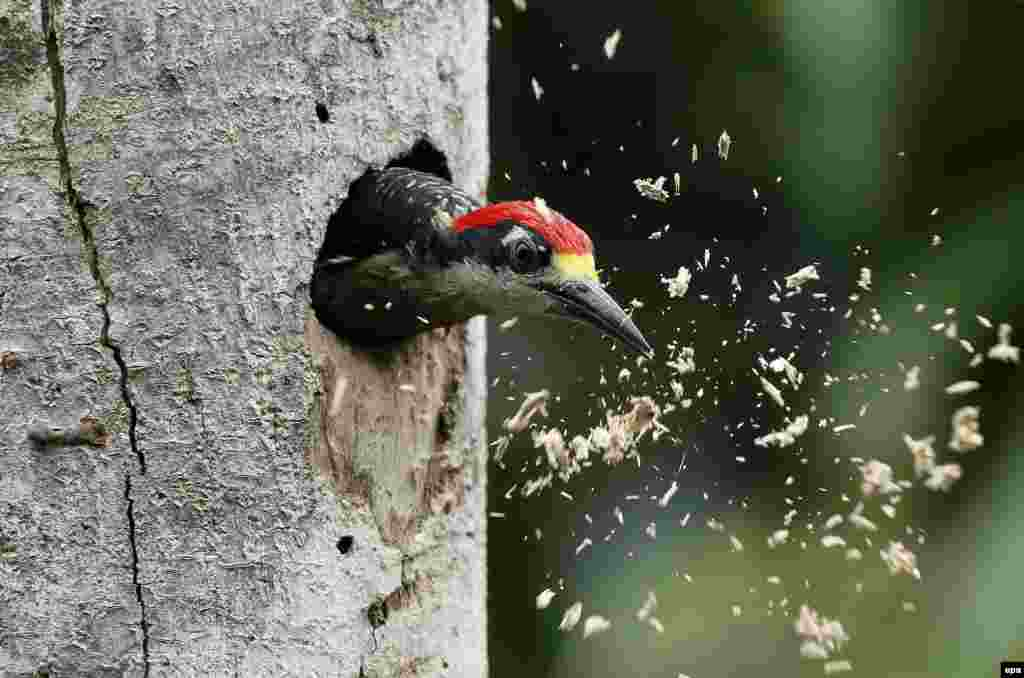 A woodpecker in the zone of Guapiles, in the province of Limon, Costa Rica. (epa/Jeffrey Arguedas)