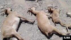 ۱۷۵ راس کلوبُز وحشی بر اثر طاعون نشخوارکنندگان کوچک در استان البرز تلف شدهاند