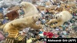 Urși polari surprinși hrănindu-se într-un depozit de gunoi, afectațo de încălzirea globală și topirea ghețurilor în zona arctică