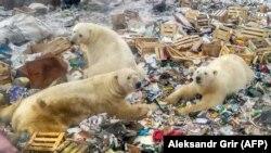 Потепление за Полярным кругом. Белые медведи осваивают помойки