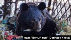 Гималайский медведь Артем из Приморья