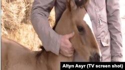 """Türkmen telewideniýesinde Rowaç atly täze doglan taýçanak görkezilýär. """"Altyn Asyr"""" telekanalynyň ekranyndan alnan surat."""