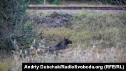 Лось, який відпочиває біля старої залізниці, що проходить крізь Рудий Ліс
