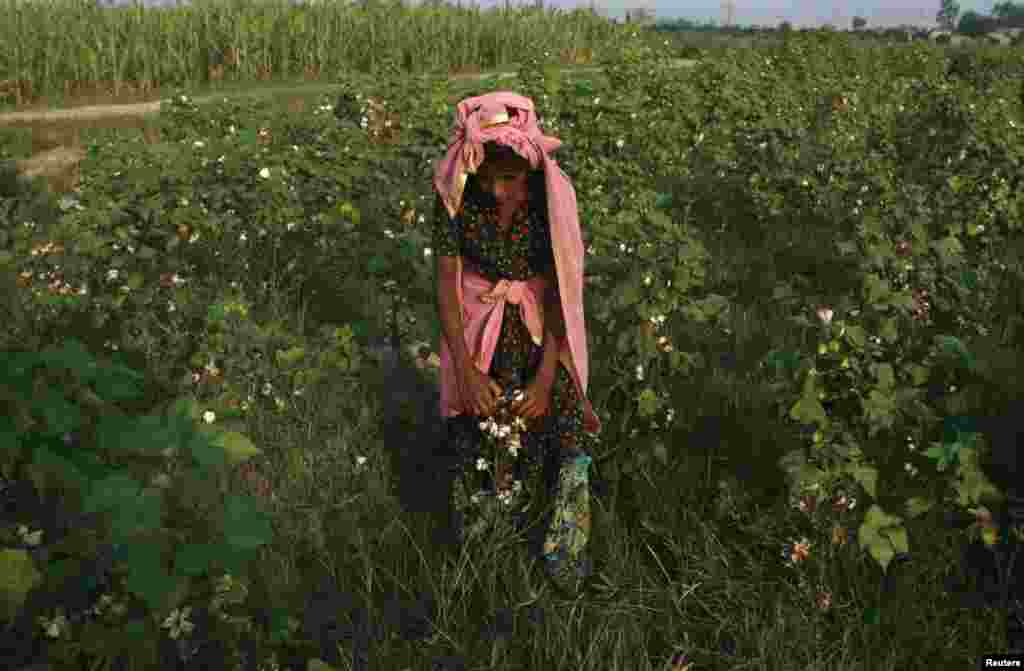 A girl plucks cotton blooms in a field on the outskirts of Faisalabad, Pakistan. (Reuters/Fayyaz Hussain)