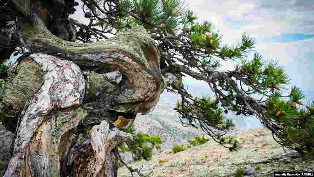 Живописная гораСокол, илиКуш-Кая(«птичья скала» – с крымскотатарского) разделяет городСудаки поселокНовый Свет. На сегодняшний день это самый большой в Европе коралловый риф