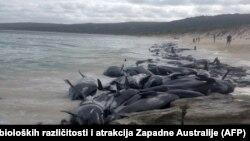 نهنگهای گیر مانده در آبهای جزیره تسمانیا در جنوب استرالیا