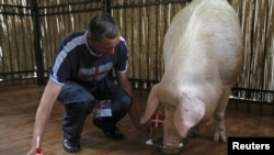 Funtik the pig correctly predicting Denmark's June 9 win over the Netherlands.