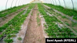ديالى: مزارع البيوت البلاستيكية (من الارشيف)