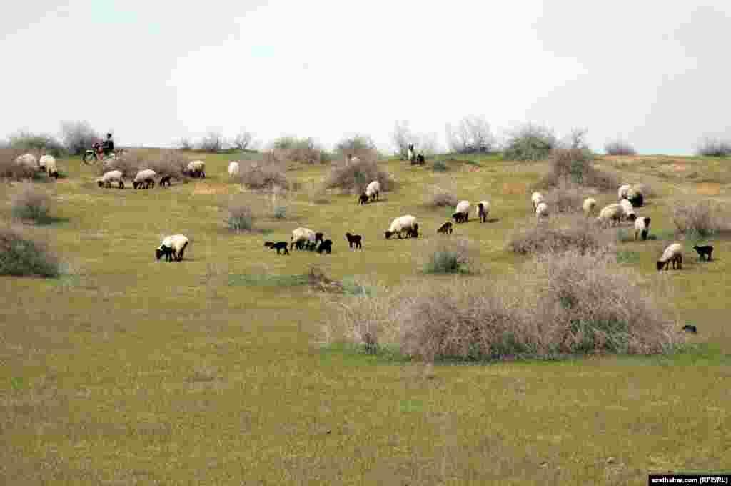 Утром чабаны объезжают на мотоциклах окрестности, сгоняют овец и новорожденных ягнят в стадо.