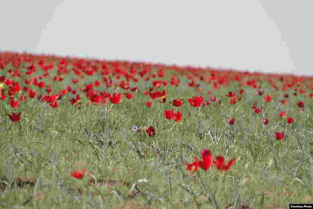 """""""Маковое поле"""". Фото прислал на конкурс Амандос Еркебулан. Атырауская область, мая 2015 года."""