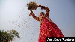 یک زن هندی در شالیزاری در اطراف احمدآباد