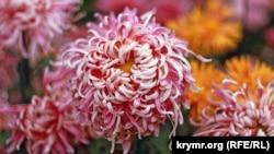 Королева балу хризантем