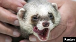 Kharkiv's Fred the Ferret won't give up without a fight!