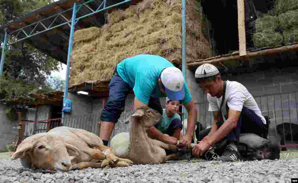 Kyrgyz men tie up sacrificial sheep at a livestock market in Bishkek.