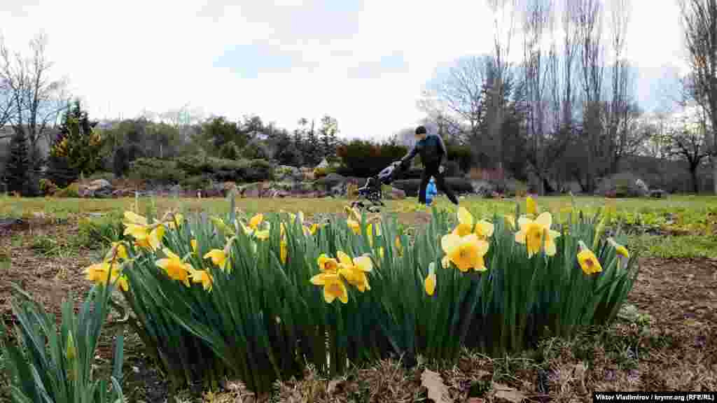 Нарцисс желтый, или ложный. Может достигать в высоту 20-25 сантиметров