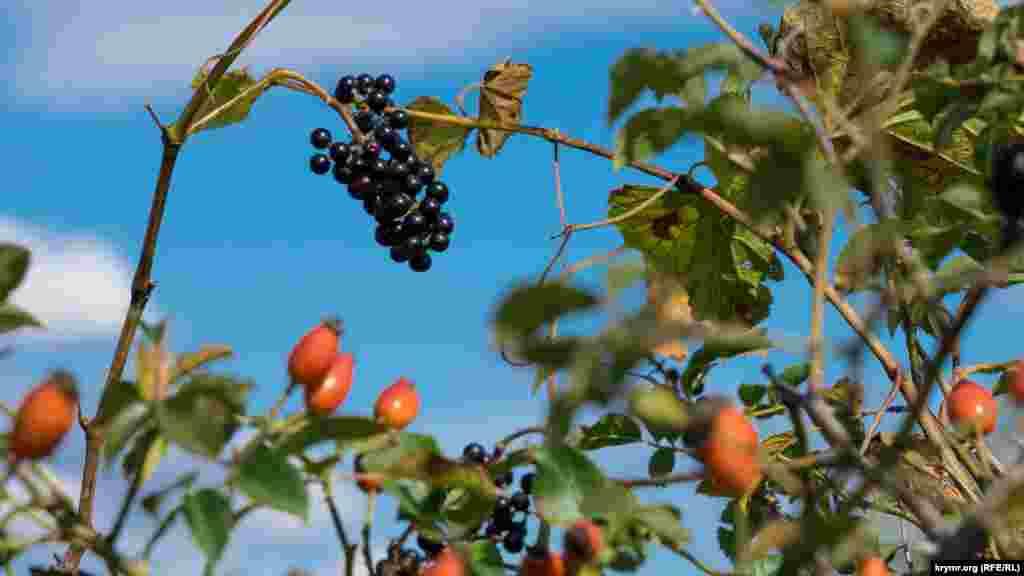 Одночасно з шипшиною на колишньому радгоспному винограднику дозрів «дикун», тобто підщепний сорт винограду