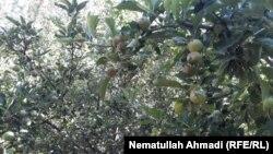 آرشیف، باغ سیب