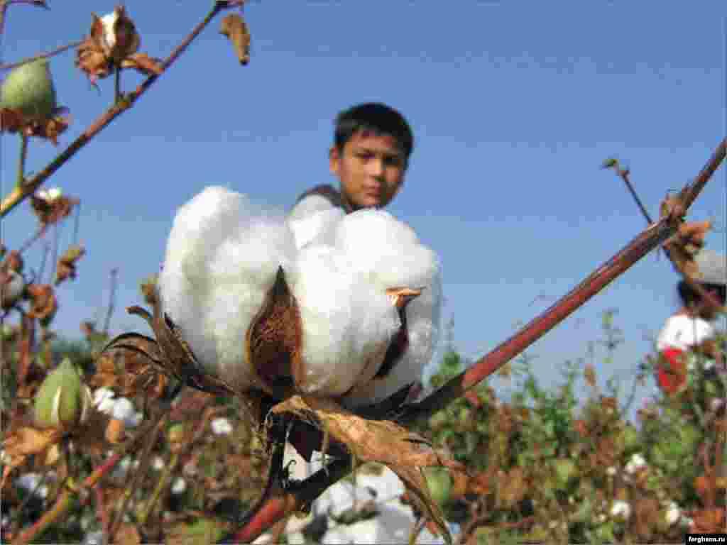 A young boy picks cotton in a field in Uzbekistan.