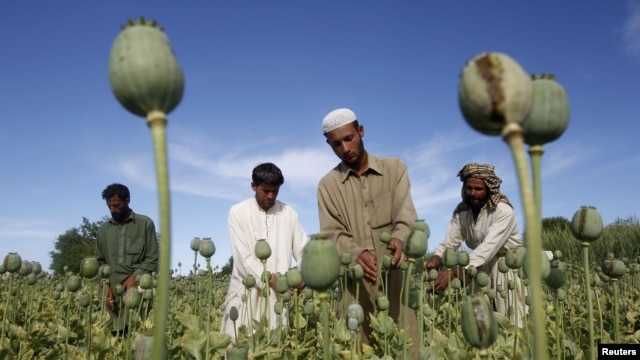 Afghan farmers work in a poppy field in Jalalabad province. (file photo)