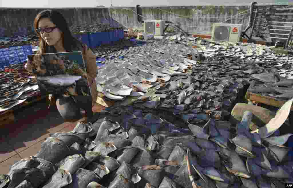 An environmental activist holds a picture of a dead and finned shark next to shark fins drying in the sun in Hong Kong. Environmentalists and other concerned groups have raised concerns that the over-harvesting of fins is causing an environmental calamity. Hong Kong is one of the world's biggest markets for shark fins, which are used to make soup that is an expensive staple at Chinese banquets. (AFP/Antony Dickson)