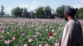 A farmer checks poppy fields in Kandahar, Afghanistan