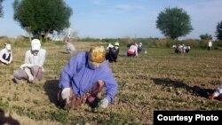 Uzbekistan - schoolboys and schoolgirls are working in cotton plantations, undated