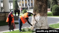 Самаркандские дворники белят деревья накануне праздника «Навруз», 2016 год.