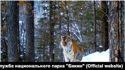 """Амурский тигр в нацпарке """"Бикин"""""""