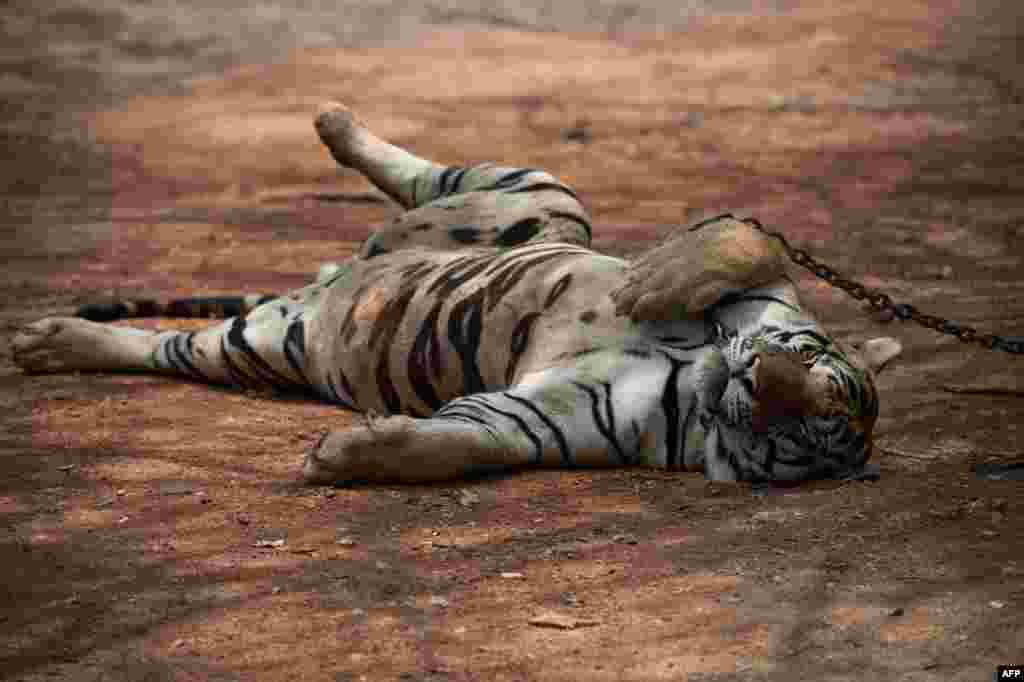 """В 2008 году под контролем Владимира Путина запустили программу """"Амурский тигр"""", направленную на изучение амурского тигра с целью его сохранения в дикой природе"""
