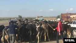 Жители затопленного села Нурлы Жол отгоняют скот на возвышенность.