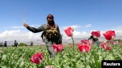 An Afghan policeman destroys poppies during a campaign against the illegal narcotic crop.