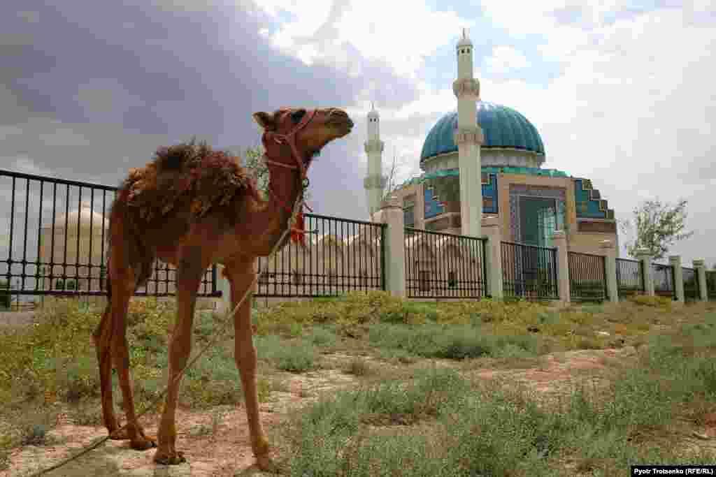 Верблюжонок на фоне мечети имени Ходжи Ахмеда Яссауи – одной из новейших в Туркестане. Соглашение о ее возведении было подписано Казахстаном и Турцией в рамках 1500-летнего юбилея города. Она была построена на средства турецкой стороны.