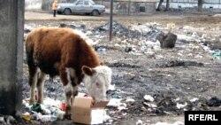 Корова на свалке мусора в городе Семей.