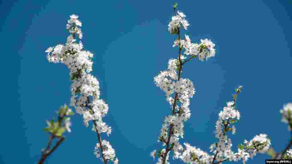 Гілки квітучої сливи на вулиці Сергія Лазо, що в мікрорайоні Куликового поля