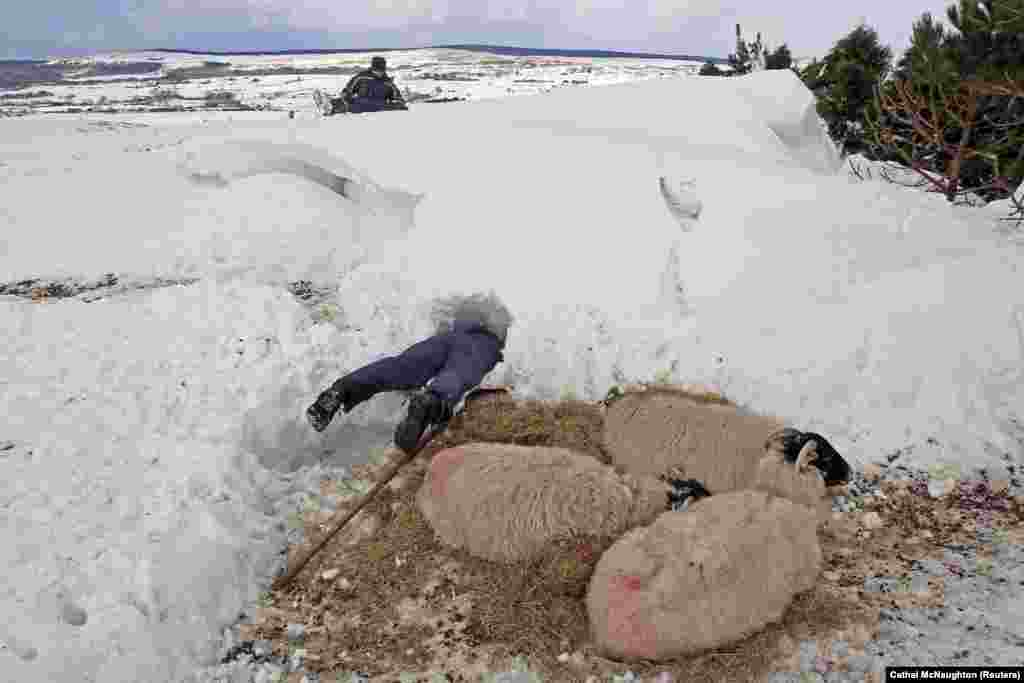 Farmer Donald O'Reilly searches for sheep or lambs trapped in a snowdrift near weakened animals that had just been rescued, in the Aughafatten area of County Antrim, Northern Ireland. At least 140,000 homes and businesses in Northern Ireland were left without power over the weekend following heavy snowfall that caused snowdrifts of up to 5 meters. (Reuters/Cathal McNaughton)