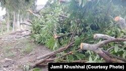 درختهای مثمر قطع شده از یک باغ در ولایت لغمان