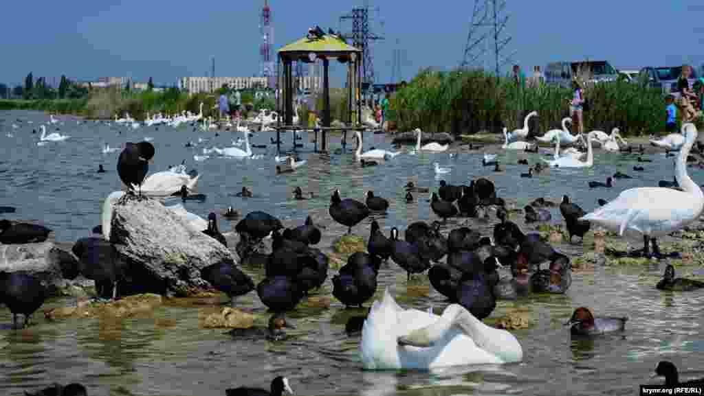 Черные утки лысухи и белые лебеди