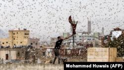 Житель столицы Йемена Саны, удерживаемой повстанцами-хуситами, пытается для пропитания поймать саранчу на крыше своего дома