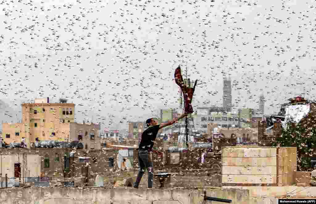 A man tries to catch locusts while standing on a rooftop as they swarm over the Huthi rebel-held Yemeni capital, Sanaa, on July 28. (AFP/MOhammed Huwais)