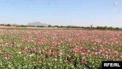 مزرعه کوکنار در افغانستان