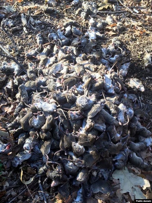 За час набили несколько ведер мышей. Фото с Facebook Юрия Мисягина