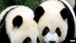 Как бы их ни называли, енотами или медведями, панды неизменно вызывают восторг у детей и взрослых