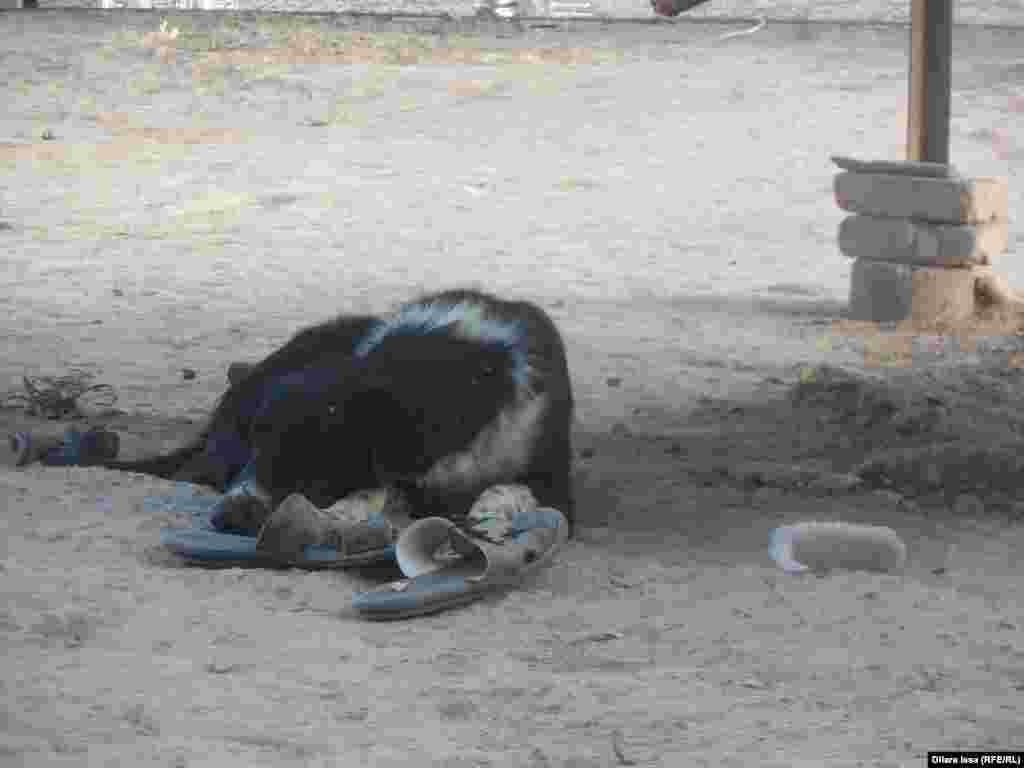 Сторожевая собака, живущая у Арапбая и Рахимы.