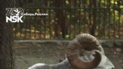 Новосибирский зоопарк снял видео с новорожденными аргали