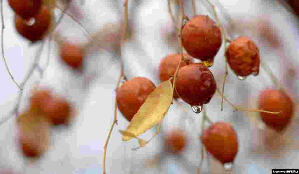 Плоди зизифуса після дощу в селі Кольчугине