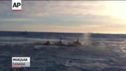 Kanada: Kitovi ubice zarobljeni pod ledom