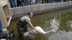 В Алматы вернулись лебеди