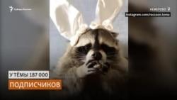 Самый популярный енот-блогер живет в Кузбассе
