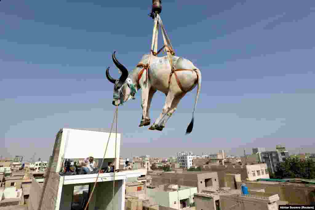 A sacrificial cow is lowered from a rooftop by crane ahead of the Eid al-Adha festival in the Pakistani city of Karachi on July 11. Many people keep cattle on their roofs because yards are often already packed with livestock ahead of the holiday.